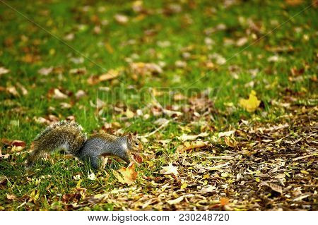 Squirrel In The Park. Early Fall. Grass And Leafs. Squirrels Belong To A Large Family Of Small Or Me