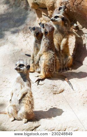 Suricate Or Meerkat (suricata Suricatta) Standing On Stones