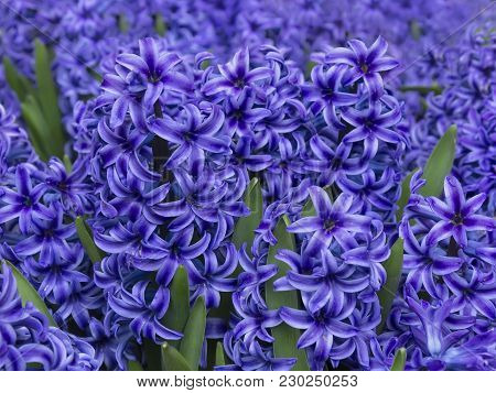 Closeup Of Purple Hyacinth Flowers. Spring  Background