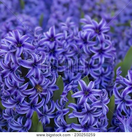 Closeup Of Purple Hyacinth Flowers. Spring  Background.