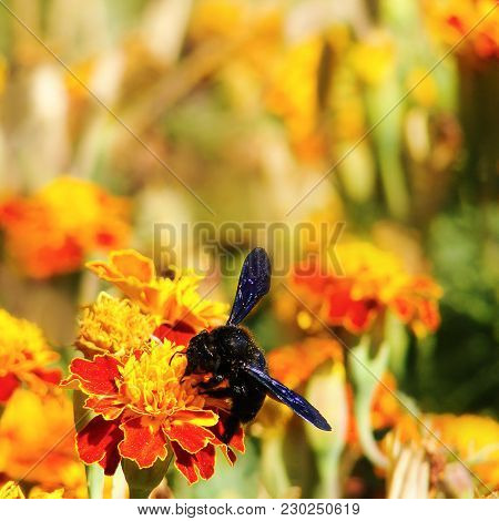 Violet Carpenter Bee (xylocopa Violacea) Insect On Marigold Flowers (tagetes). Natural Floral Summer