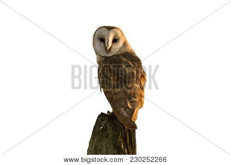 Isolated Photo Of A Barn Owl Perched On Tree Stump Post Looking