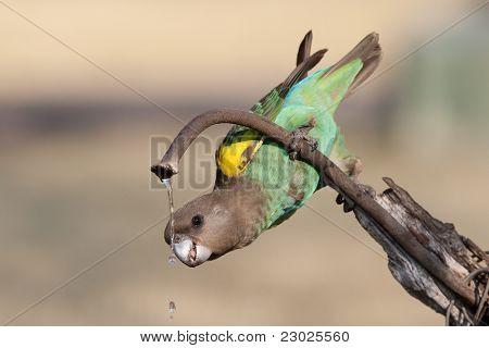 Trinken Papagei