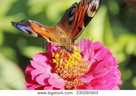 Macro Of Butterfly Peacock Eye Collecting Nectar On The Zinnia. Macro Of Butterfly. Sunny Summer. Ho