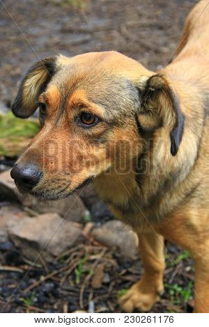 Brown Mongrel. Curious Dog Asking To Eat. Homeless Mongrel Dog Waiting For New Owner. Head Of Dog Cl