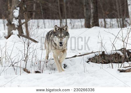 Grey Wolf (canis Lupus) Steps Over Log - Captive Animal