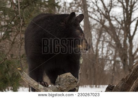 Black Bear (ursus Americanus) Turns Right - Captive Animal