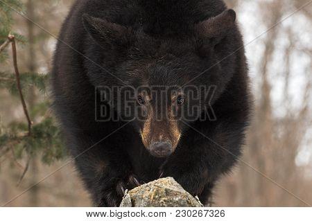 Black Bear (ursus Americanus) Stares Forward - Captive Animal