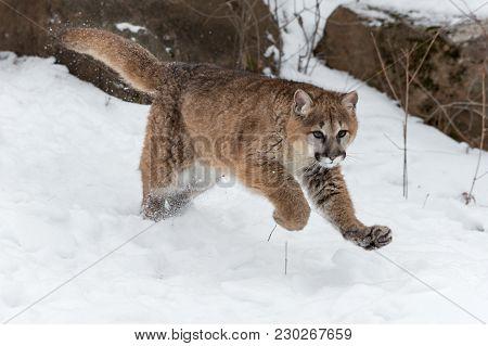 Female Cougar (puma Concolor) Leaps Forward - Captive Animal