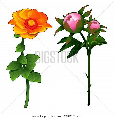 Pink Peonies And Yellow Zinnias Isolated On White Background. Vector Cartoon Close-up Illustration.