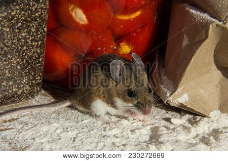 A Wild Brown House Mouse, Mus Musculus, Standing On A Pile Of Flour In Front Of Jars Of Food In A Ki