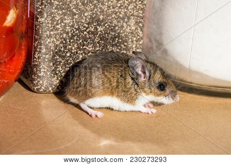 A Side View Of A Scared Wild Brown House Mouse, Mus Musculus, In Front Of Jars Of Food In A Kitchen