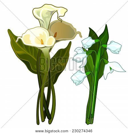 Calla Lilies And Snowdrops Isolated On White Background. Vector Cartoon Close-up Illustration.