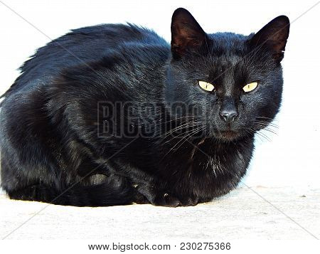 A Black Cat. The Domestic Cat Is A Small, Typically Furry, Carnivorous Mammal. They Are Often Called