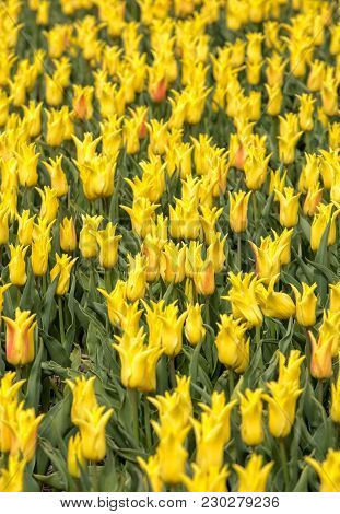 Abstract Background . Close-up Of Yellow Tulips Flowers
