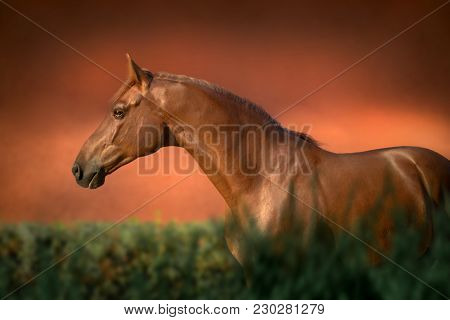 Portrait Of The Chestnut Thoroughbred Horse Stays In Green Bush On Red Background