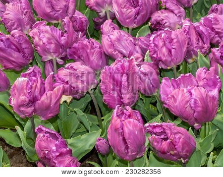 Abstract Background . Purplel Tulips Flowers Blooming In A Park