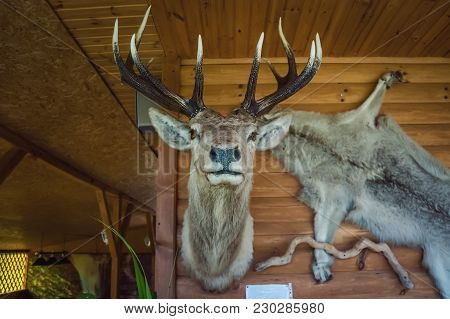 Deer Antlers, Hunting Trophies, Hanging On A Wooden Wall. Antlers And A Wolf Pelt On The Background