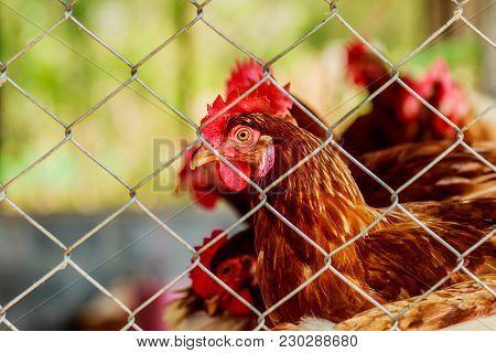 Chickens Or Hens Inside A Chicken Coop Or Hen House Seen Through Chicken Wire.