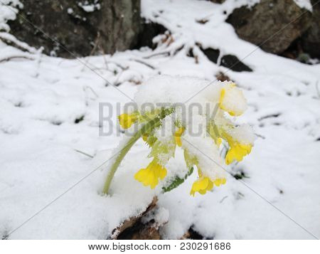 Spring Takes Precedence Over Winter, Early Spring Yellow Flowers, Sprinkled With Snow, But Not Broke