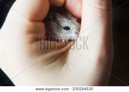 A Young Mouse In Hand. Mouse In Prison