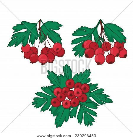A Set Of Three Bunches Of Ripe Berries Of Hawthorn. Crataegaus Or Haw Clusters. Vector
