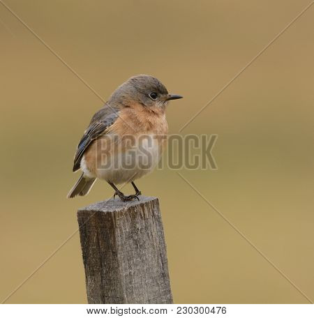 An Eastern Bluebird (sialia Sialis) Perched On A Wooden Stake, In Right Profile, In Taneytown, Carro