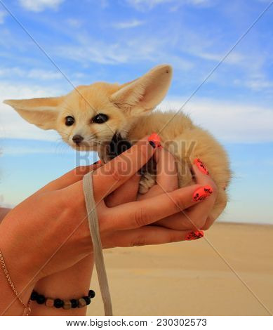 Cub Foxes, The Fennec Fox In The Desert