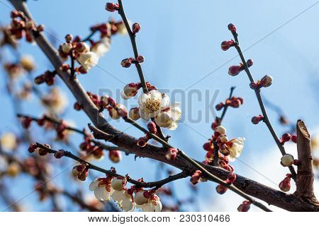 White Plum Blossoms Fill The Trees In Late February In Japan. Plums Are One Of The First Fruit Trees