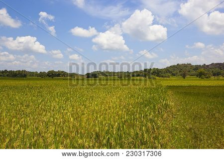 Ripening Sri Lankan Rice Crops With Woodland In Wasgamuwa National Park Under A Blue Sky With Fluffy