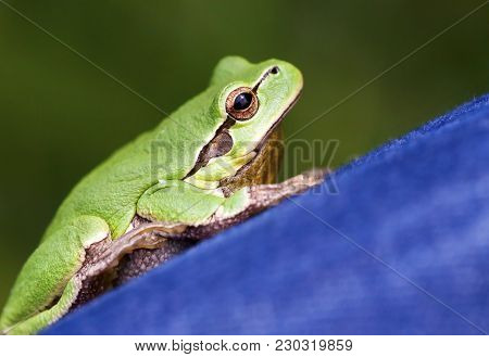 Close-up Portrait Of A Small Cute Green Frog As Resting