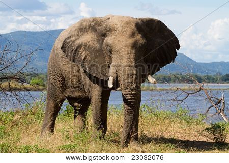 Elefant-Stier