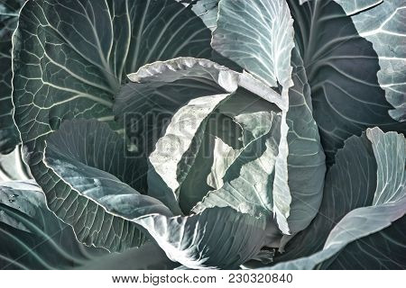In The Garden On A Bed Grows A Big Head Of Cabbage With Big Leaves. Submitted Close-up.