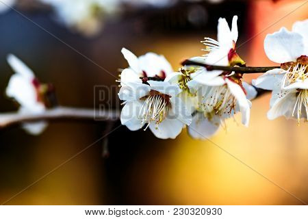 A Small Cluster Of White Plum Blossoms On A Blurred Out Background. Plums Are The First Trees To Blo