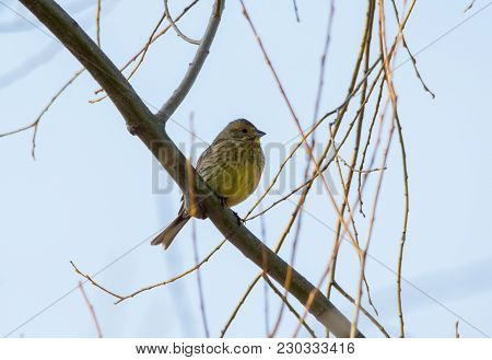 Eurasian Wren Is Seating On The Branch Of A Tree. Close-up