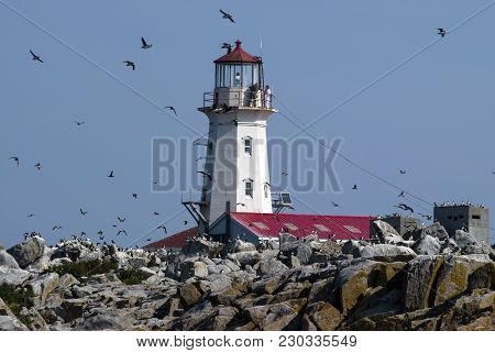 Atlantic Puffins Fly Around Old Machias Seal Island Lighthouse Located Off The Northern Maine Coast