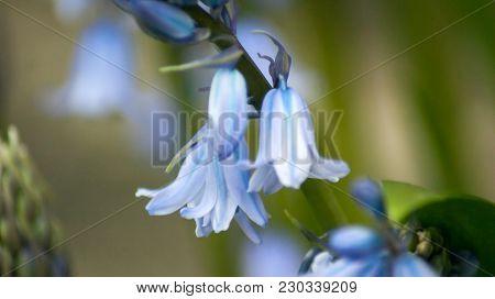 Hybrid Bluebells Or Common Bluebells - Hyacinthoides Non-scripta In An English Garden In Spring