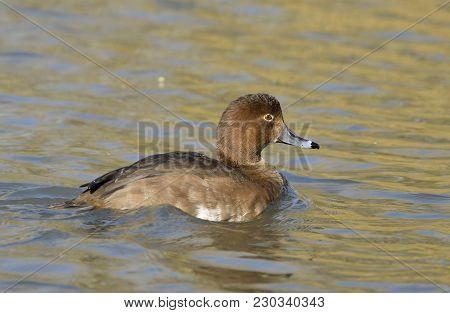 Redhead Duck - Aythya Americana Female On Water