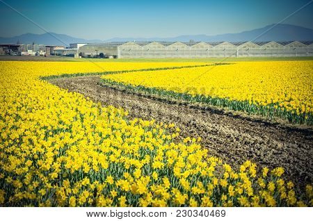 Top View S-curved Winding Path In Daffodil Farm At Skagit Valley, Wa, Usa