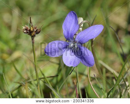 Common Dog-violet - Viola Riviniana  Close-up Of Single Flower