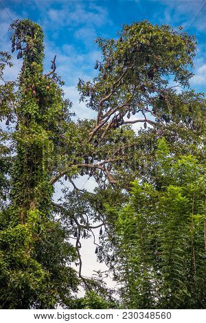 A tree full of roosting flying foxes aka fruit bats during the day time with forest jungle of the Sri Lanka