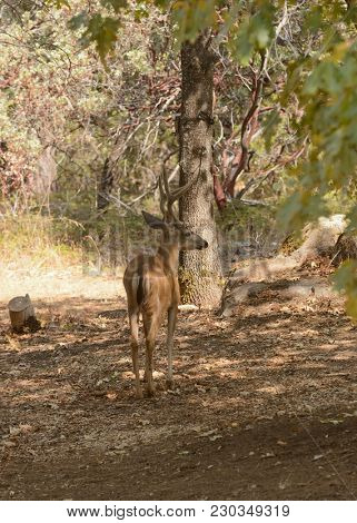Blactail buck in California slipping through the forest