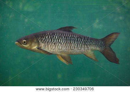 Hoven's carp (Leptobarbus hoevenii), also known as the mad barb or sultan fish.