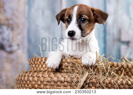 Puppy breed Jack Russell Terrier portrait dog
