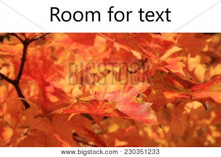 Maple Leaf. Maple Tree with gold, yellow, orange, red , green maple leafs with a blue sky background.  Room for your text