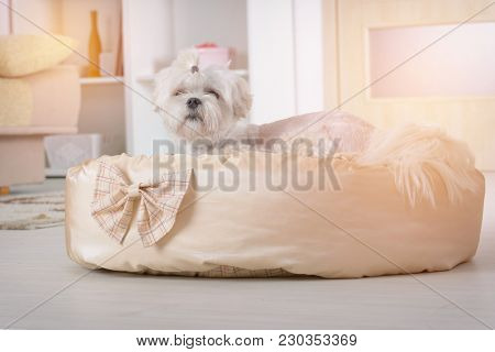 Cute young Maltese laying on his bed at home