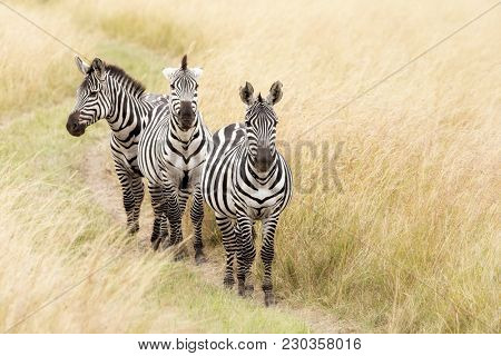 A trio of Grevys zebra walking a track through the grasslands of the Masai Mara, Kenya