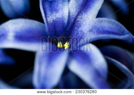 Blue Hyacint Close Up Macro Shot Isolated On Black Background.