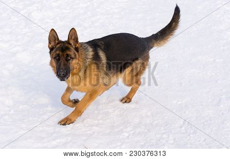 Young Puppy German Shepherd Running In The Snow