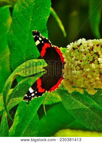 Red Admiral Butterfly In English Garden Plants